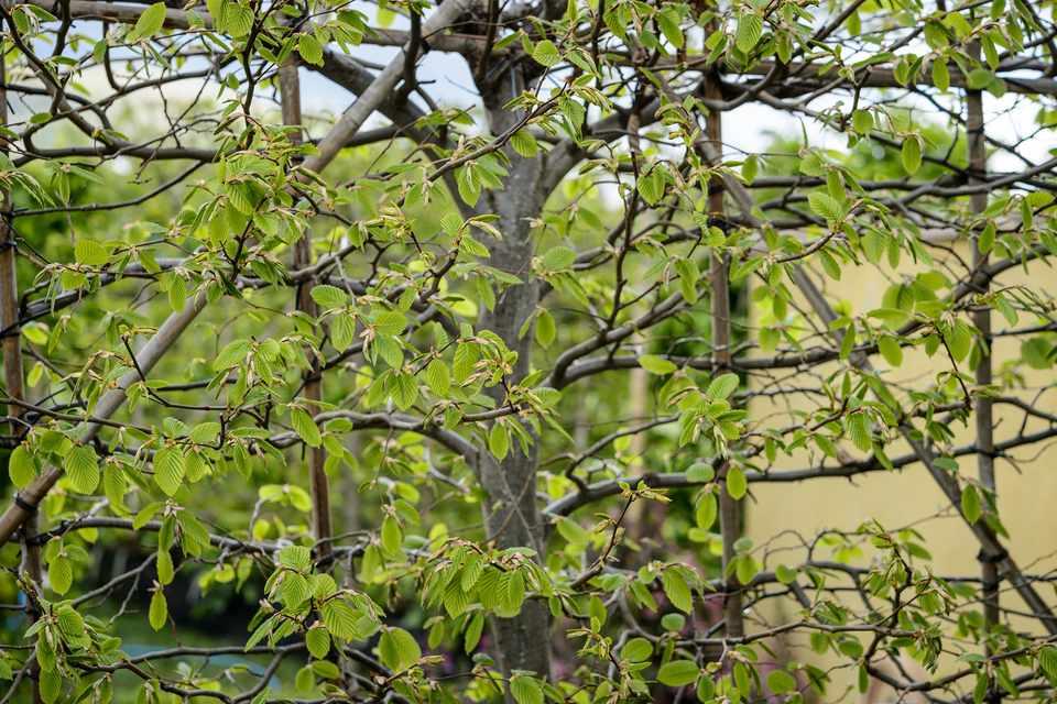 Hornbeam hedge in spring