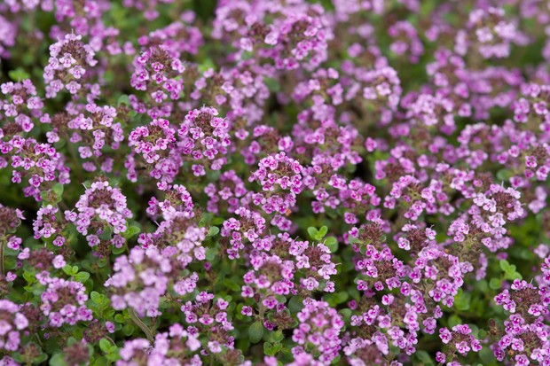 Purple thyme flowers
