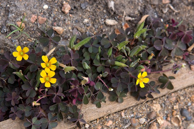 Dark-leaved oxalis with yellow flowers and seed-pods
