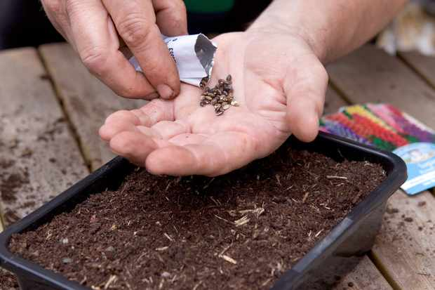 Sowing lupin seeds