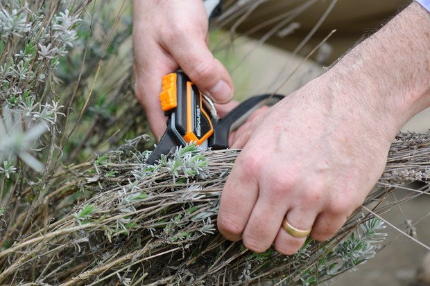 Pruning a bunch of lavender with secateurs