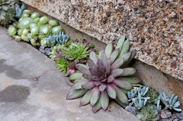 succulents-growing-in-a-small-crevice-3