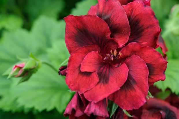 pelargonium-dark-secret-2