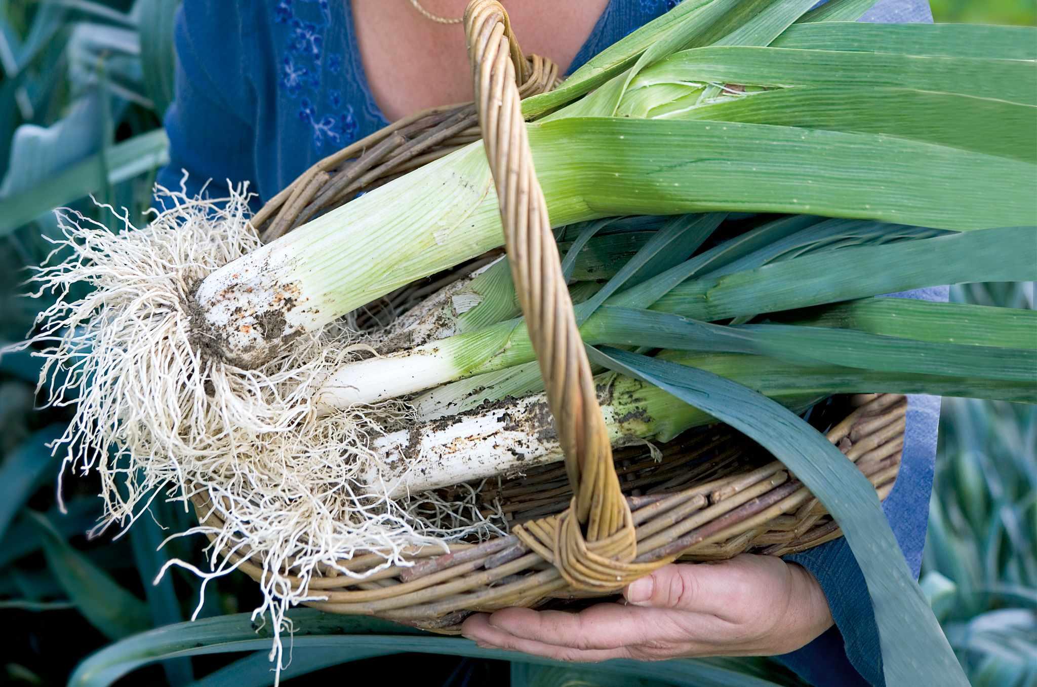 Harvested leeks