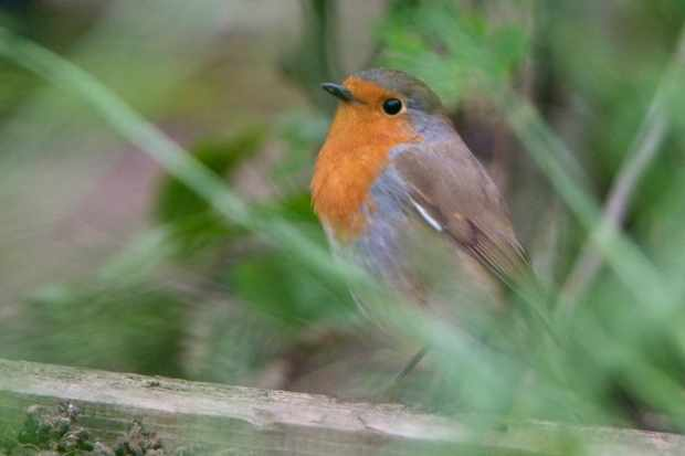 A robin perched in a garden