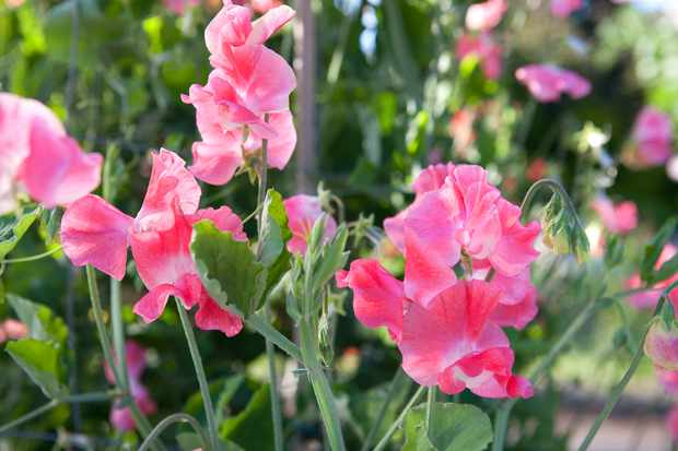 sweet-pea-first-flame-2