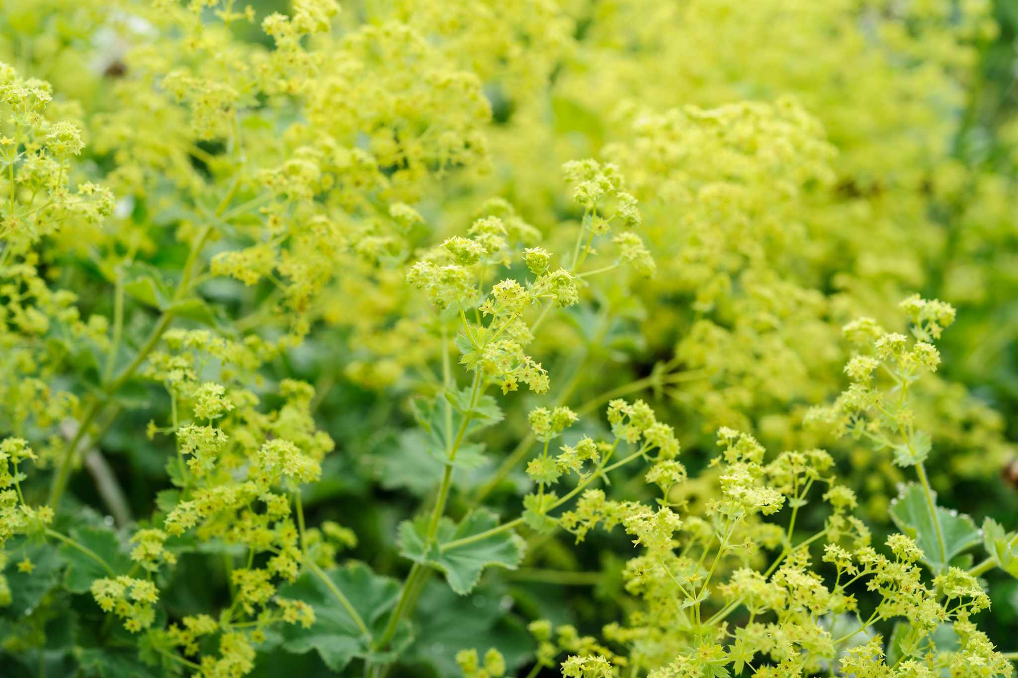 How to Divide Lady's Mantle