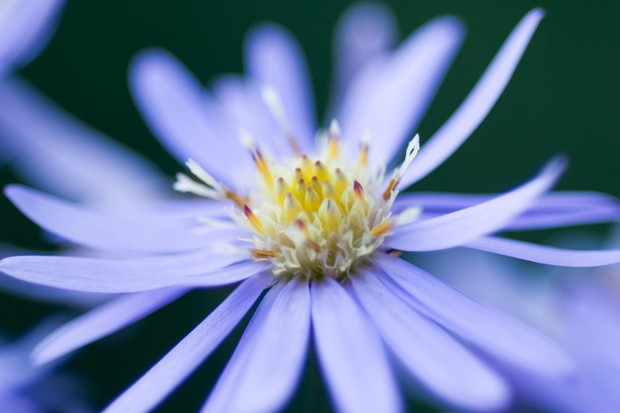 Pale-blue aster 'Little Carlow'