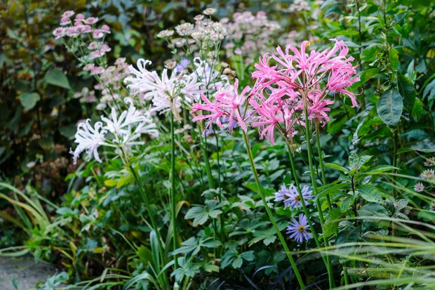 Nerines growing in a border