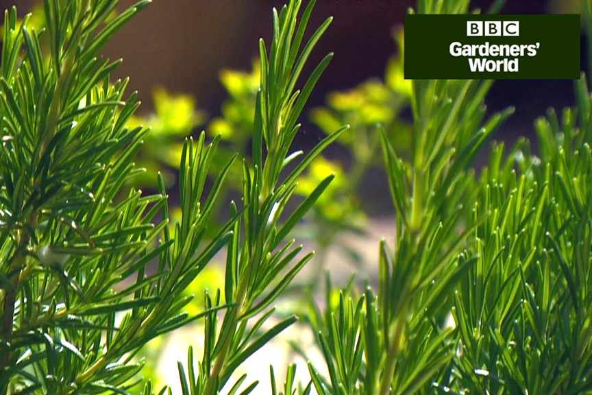 How to take softwood cuttings of herbs video