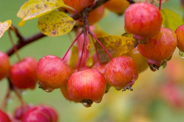Rosy fruit and yellow leaves of crab apple 'Evereste'