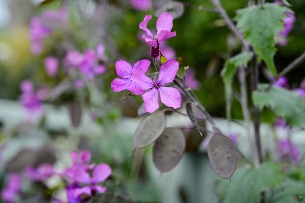 Mauve honesty flowers