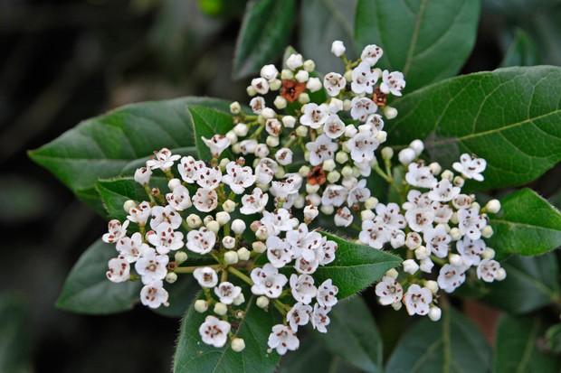 viburnum-tinus-5