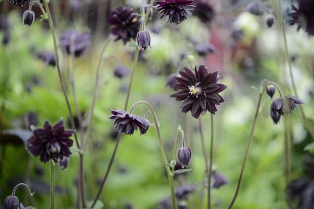 Purple-black, spur-less flowers of aquilegia 'Black Barlow'
