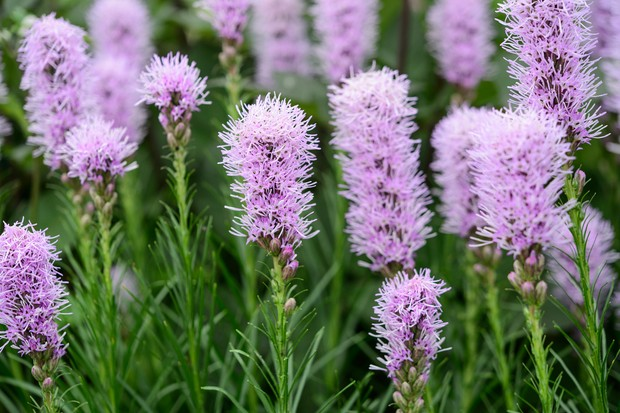 Feathery pink liatris blooms