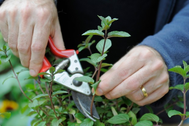 Taking Mint Cuttings In Pictures Gardeners World Magazine