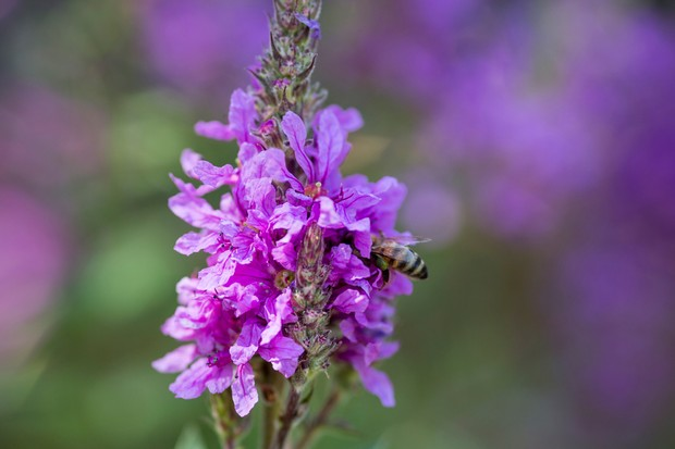 honey-bee-on-lythrum-salicaria-2