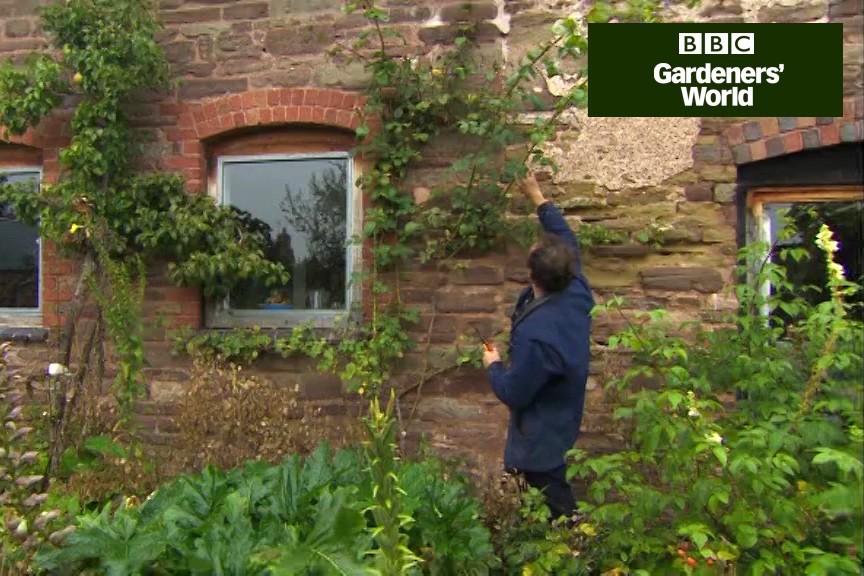 How To Prune Climbing Roses Video Bbc Gardeners World Magazine