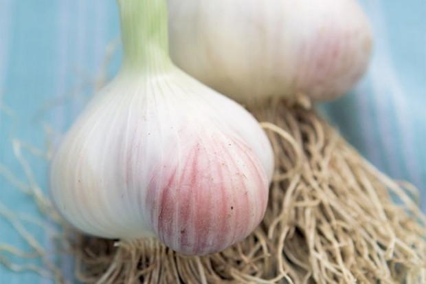 Plump, rosy bulbs of garlic 'Wight Cristo'
