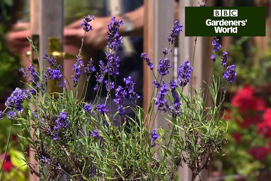 How To Prune Lavender Video Bbc Gardeners World Magazine