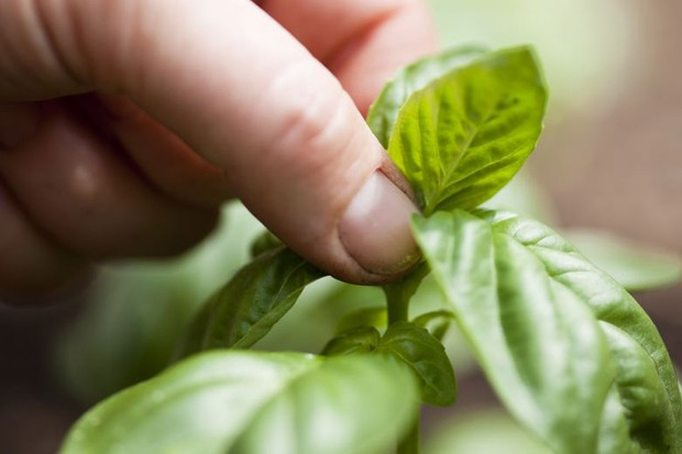Protecting herbs in winter - harvesting basil