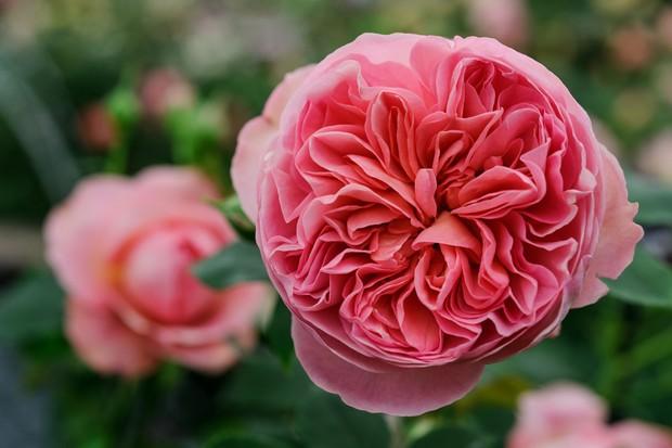 rosa-boscobel-4