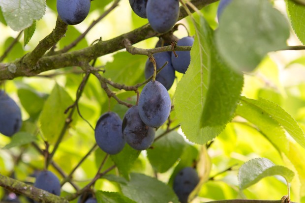 damson-fruits-2