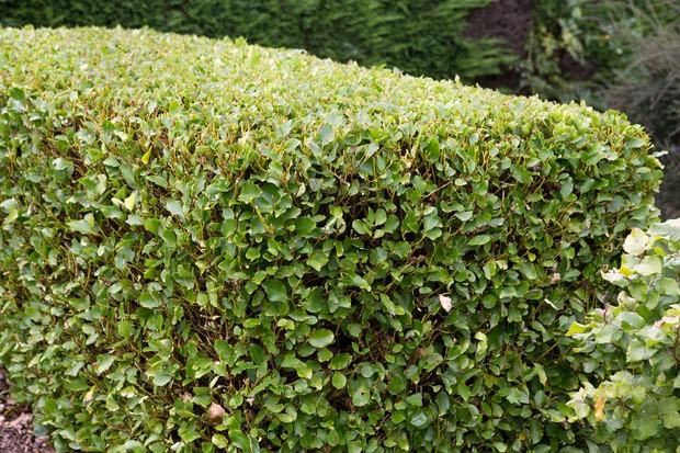 Oval-leaved griselinia hedge