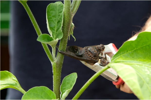removing-the-tip-of-the-aubergine-plant-2