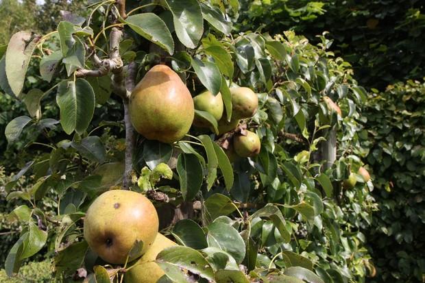 'Doyenné du Comice' pears grown as espaliers