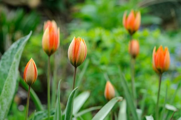 tulipa-orphanidea-flava-2