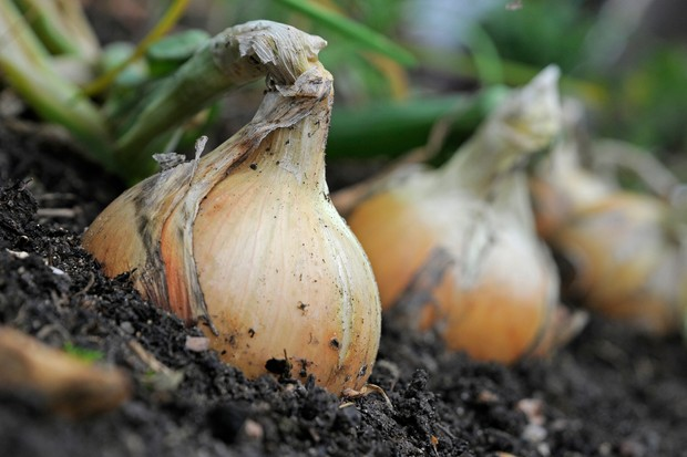 Onions ready to harvest