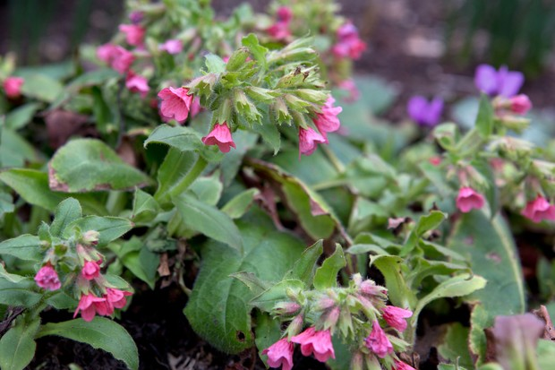Pink lungwort flowers