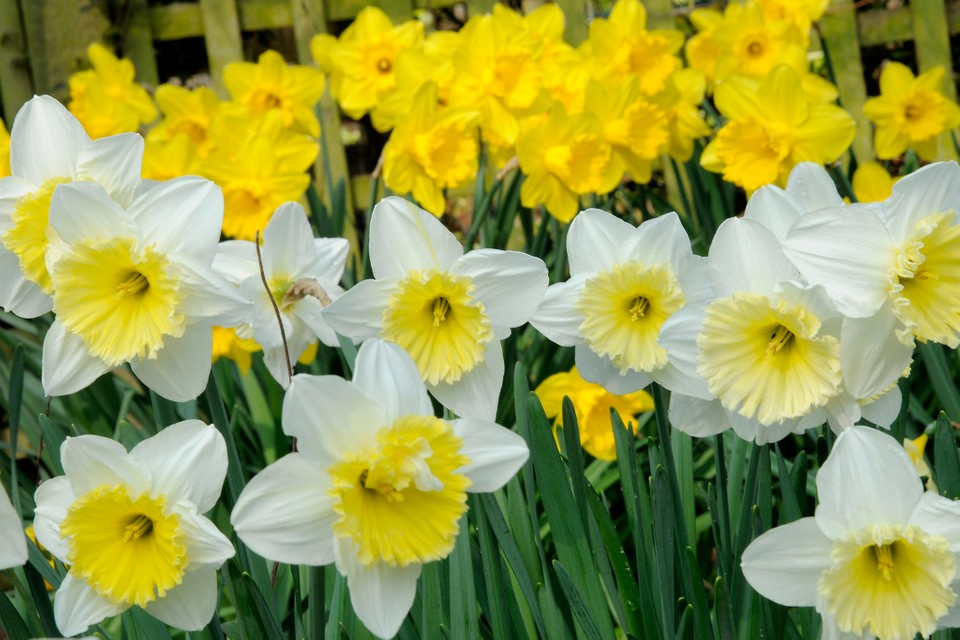 Five Bulbs For March Flowers Bbc Gardeners World Magazine