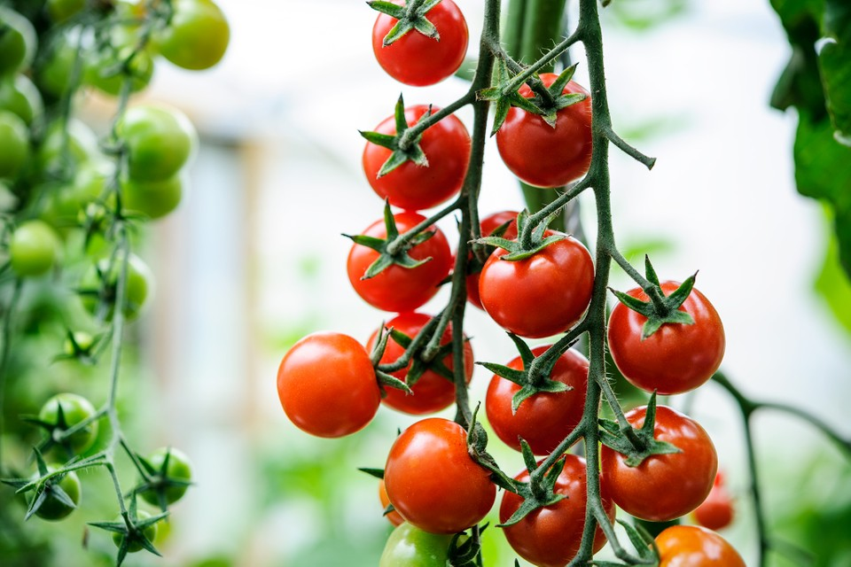 Tips For Growing Better Tomatoes Bbc Gardeners World Magazine
