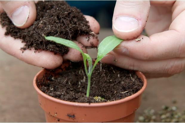 transplanting-aubergine-seedling-into-individual-pots-2