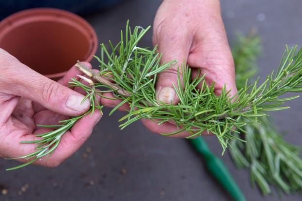 taking-rosemary-cuttings-2