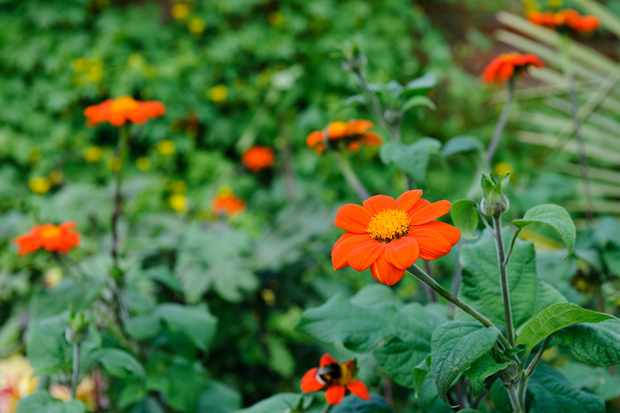 flowers-to-pick-in-august-tithonia-2