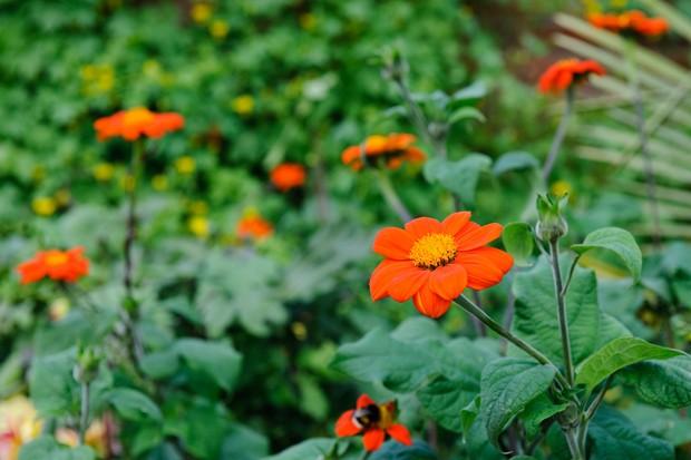 Bright orange Mexican sunflowers