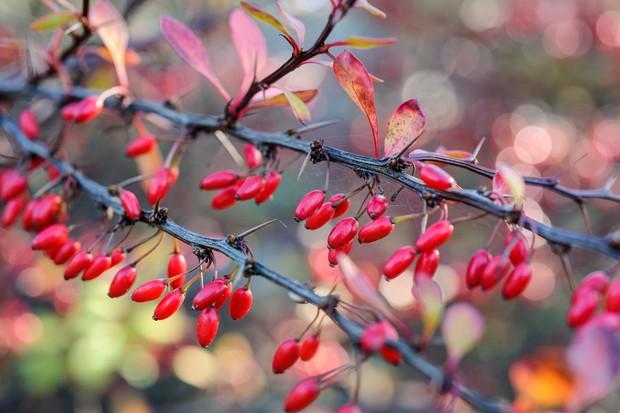 Bright-red elongate berries of Beerberis