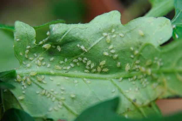 greenfly-3