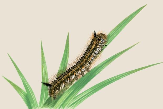 drinker-moth-euthrix-potatoria-2