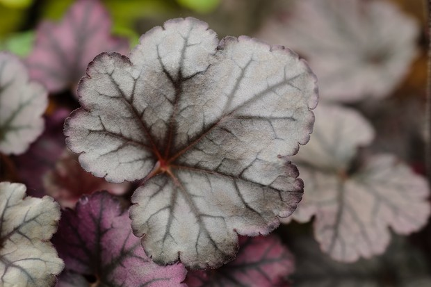 heuchera-plum-royale-3