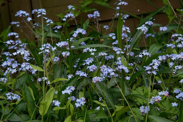 forget-me-nots-8
