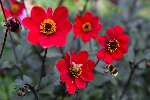 Dahlia 'Con Amore' with visiting bumblebees