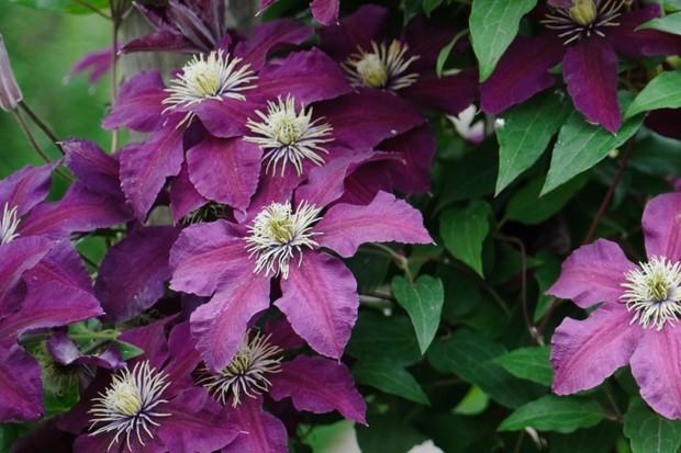 Dark purple flowers of Clematis 'Niobe'