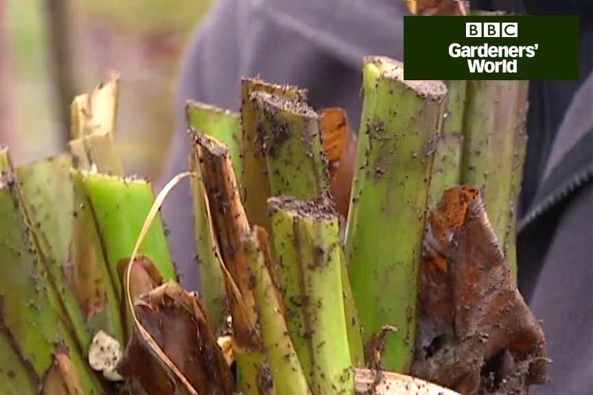 How to protect cannas and gingers over winter