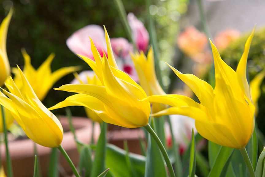 How do I get species tulips to reflower?