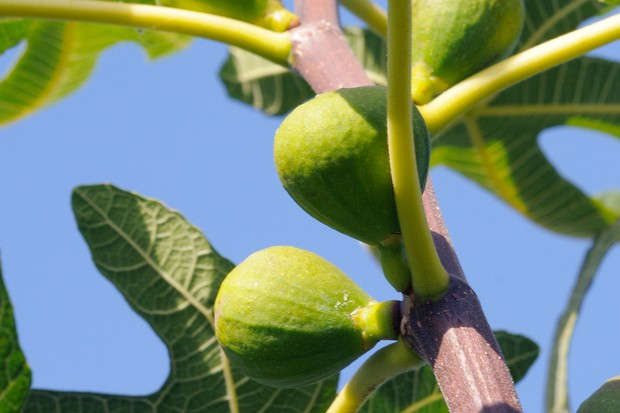 Figs ripening in the sun