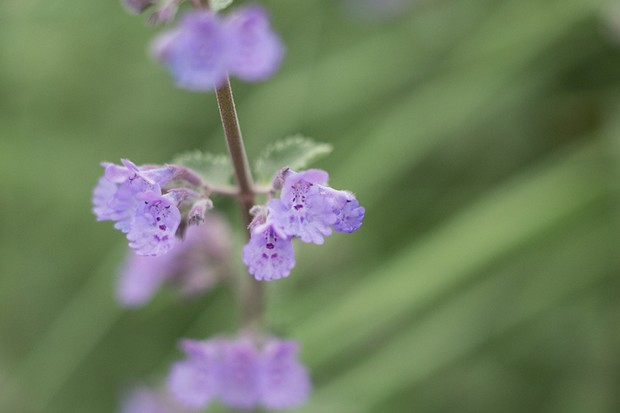 Violet-blue catmint flowers